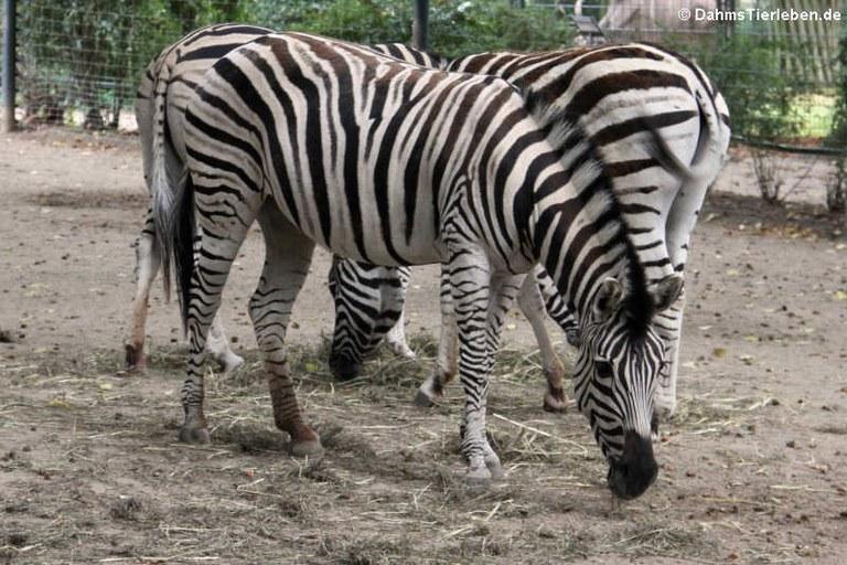 Equus quagga burchellii