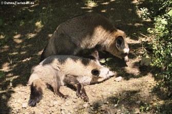 Löffelhund (Otocyon megalotis)