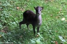 Blauducker (Philantomba monticola) im Zoo Krefeld
