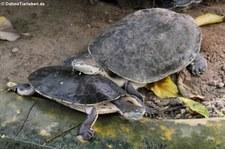 Arrauschildkröten (Podocnemis expansa) im Zoo Krefeld