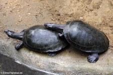 Terekay-Schienenschildkröten (Podocnemis unifilis) im Zoo Krefeld
