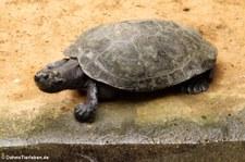 Terekay-Schienenschildkröte (Podocnemis unifilis) im Zoo Krefeld