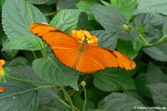 Juliafalter (Dryas iulia)