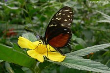 Tiger-Passionsblumenfalter (Heliconius hecale) im Zoo Krefeld