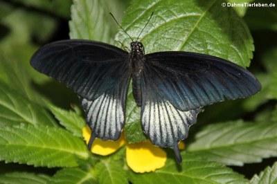 Großer Mormon (Papilio memnon)