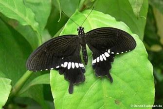 Kleiner Mormon (Papilio polytes)