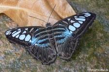 Blauer Segler (Parthenos sylvia) im Zoo Krefeld