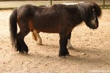 Shetlandpony im Zoo Krefeld