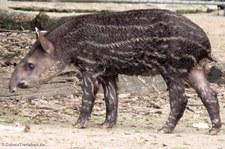 Junger Flachlandtapir (Tapirus terrestris) im Zoo Krefeld