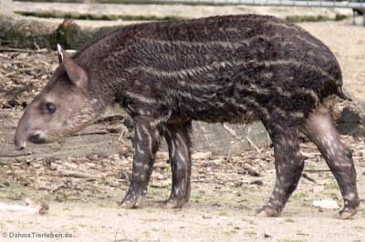 Junger Flachlandtapir (Tapirus terrestris)