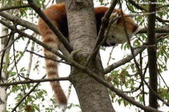 Ailurus fulgens (Kleiner Panda)