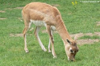 Antilope cervicapra (Hirschziegenantilope)