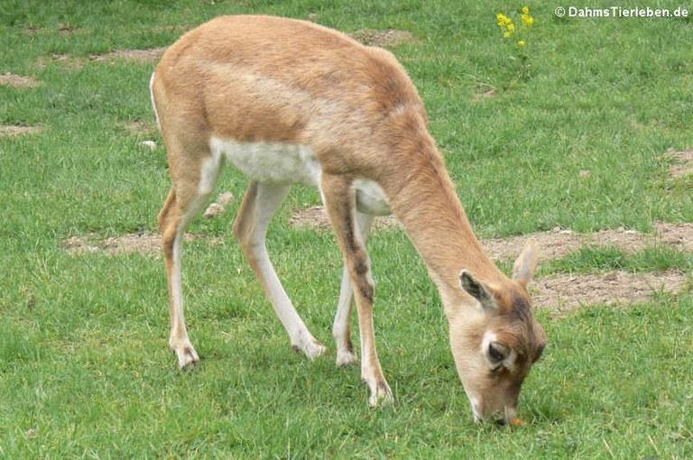 Antilope cervicapra