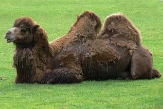 Camelus bactrianus (Trampeltier)
