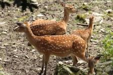 Vietnam-Sikahirsch (Cervus nippon pseudaxis) im Opel-Zoo Kronberg