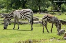 Böhm- oder Grant-Zebra (Equus quagga boehmi) im Opel-Zoo Kronberg