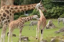 Rothschildgiraffe (Giraffa camelopardalis rothschildi) im Opel-Zoo Kronberg