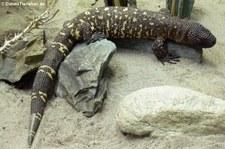 Skorpion-Krustenechse (Heloderma horridum) im Opel-Zoo Kronberg