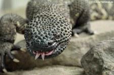 Skorpion-Krustenechse (Heloderma horridum)