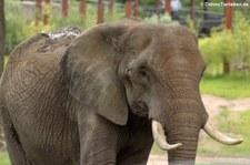 Afrikanischer Elefant (Loxodonta africana) im Opel-Zoo Kronberg