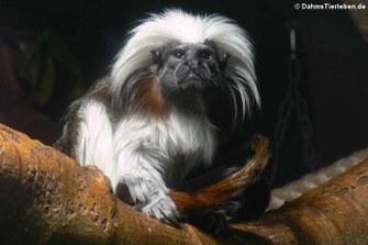 Saguinus oedipus (Lisztaffe)