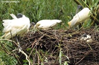 Schwarzkopf-Ibis (Threskiornis melanocephalus)