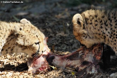 Sudan-Geparde (Acinonyx jubatus soemmeringii)