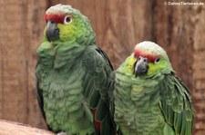 Ekuadoramazonen (Amazona lilacina) im Zoo Landau