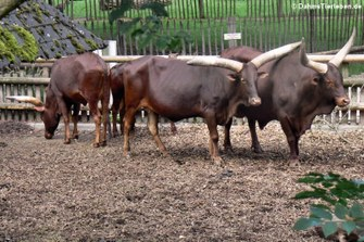Watussi-Rinder (Bos primigenius f. taurus)
