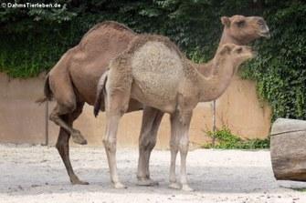 Dromedare (Camelus dromedarius)