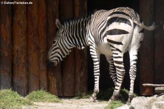 Hartmann-Bergzebra (Equus zebra hartmannae)
