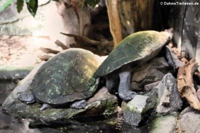 Madagaskar-Schienenschildkröten (Erymnochelys madagascariensis)