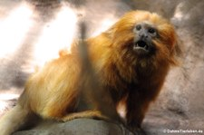 Goldenes Löwenäffchen (Leontopithecus rosalia) im Zoo Landau