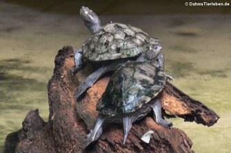Krötenkopfschildkröten (Mesoclemmys nasuta)