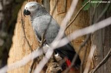 Kongo-Graupapagei (Psittacus erithacus erithacus) im Zoo Landau