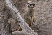 Erdmännchen (Suricata suricatta) im Zoo Landau