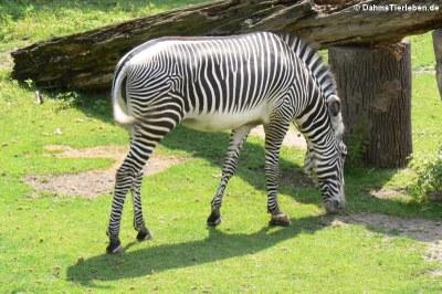 Grevy-Zebra (Equus grevyi)