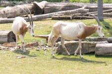 Säbelantilopen (Oryx dammah) im Zoo Leipzig