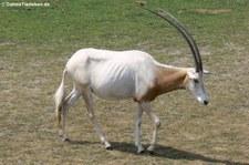 Säbelantilope (Oryx dammah) im Zoo Leipzig