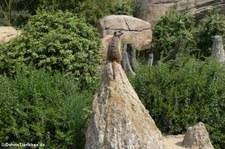 Erdmännchen (Suricata suricatta) im Zoo Leipzig