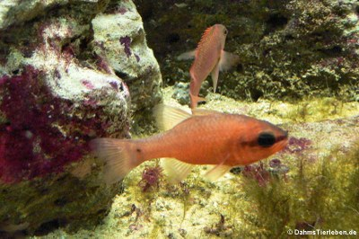 Meerbarbenkönige (Apogon imberbis)