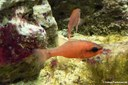 Apogon imberbis