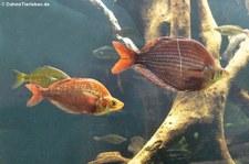 Rote Regenbogenfische (Glossolepis incisus) im Zoo Leizpig