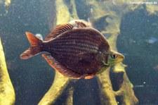 Roter Regenbogenfisch (Glossolepis incisus) im Zoo Leizpig