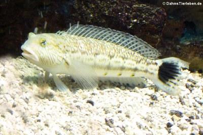 Schwanzfleck-Sandbarsch (Parapercis hexophtalma)