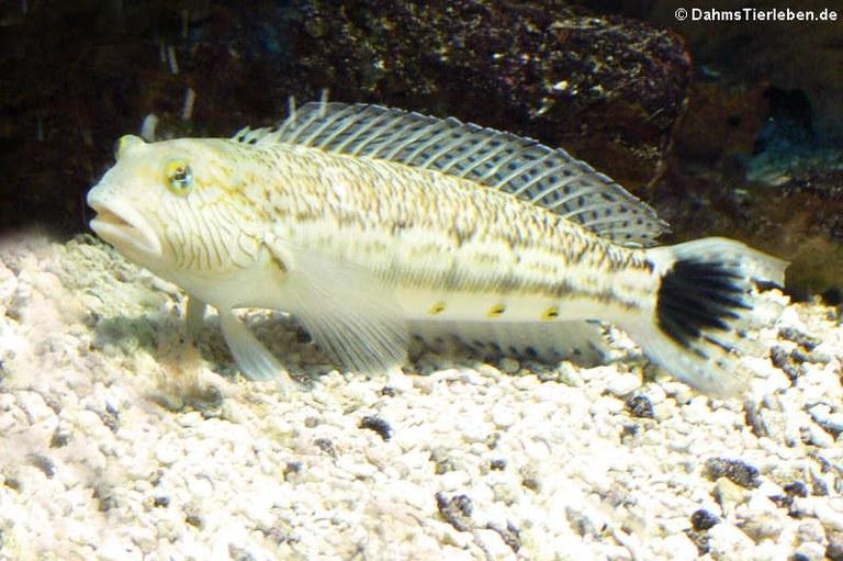 Parapercis hexophtalma