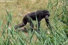 Westafrikanischer Schimpanse (Pan troglodytes verus) im Zoo Leipzig