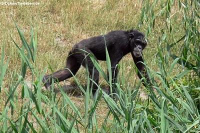 Westafrikanischer Schimpanse (Pan troglodytes verus