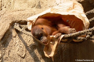 Sumatra-Orang-Utan (Pongo abelii)
