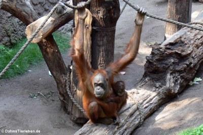 Sumatra-Orang-Utans (Pongo abelii)